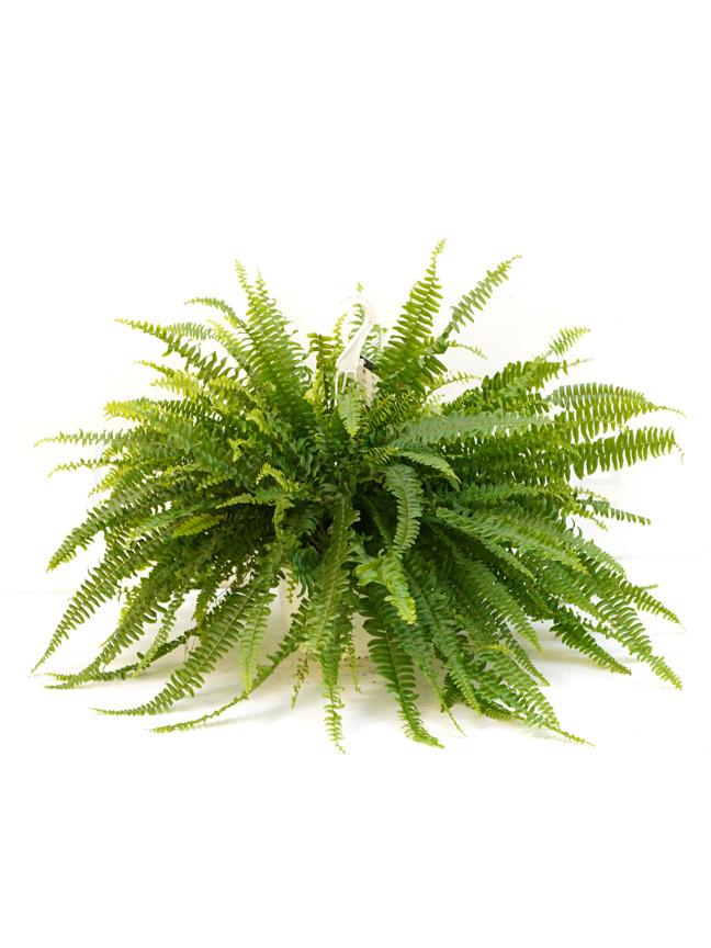 نيفرولوايبس اكستاتا 'نباتات داخلية'