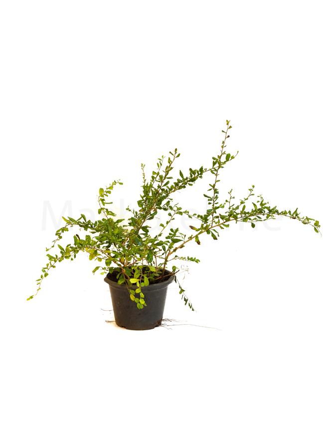Carmona Retusa M Outdoor Plants