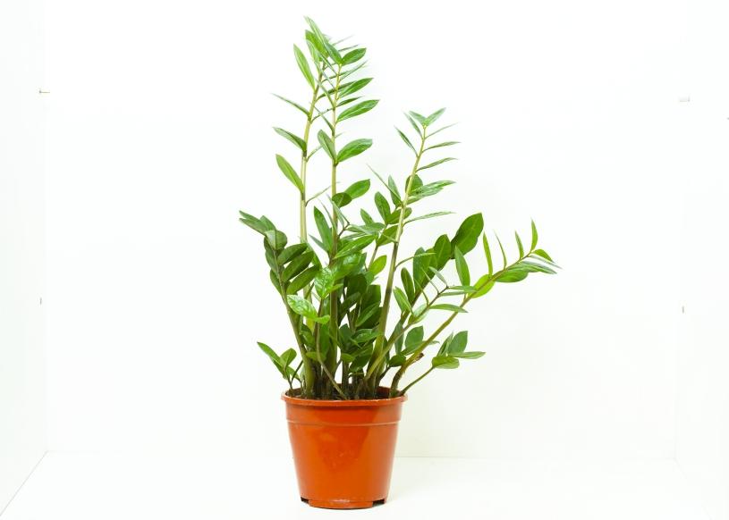 Zamioculcas zamiifilia Indoor Plants