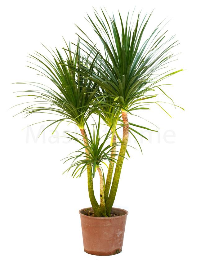Dracaena Draco Indoor Plants