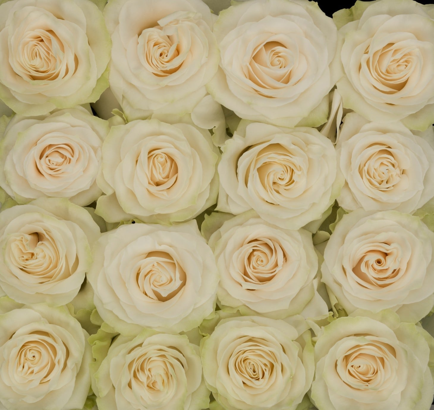 Roses Pure White Wholesale Flowers