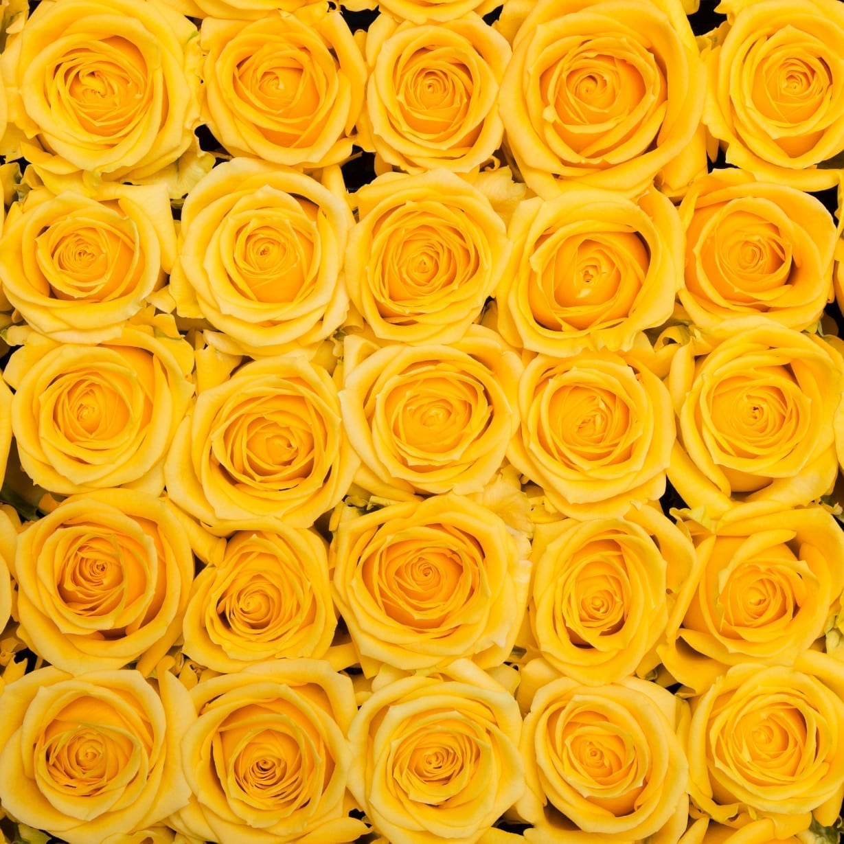Roses Blonde Yellow Wholesale Flowers