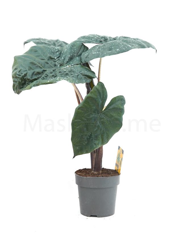 Alocasia Black Magic Indoor Plants