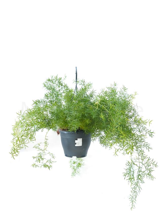 Asparagus Sprengeri Hanging Indoor Plants