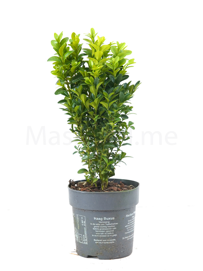 Buxus Semperviren P12 Indoor Plants