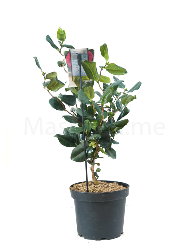 Camellia japonica Curly Lady  Indoor Plants