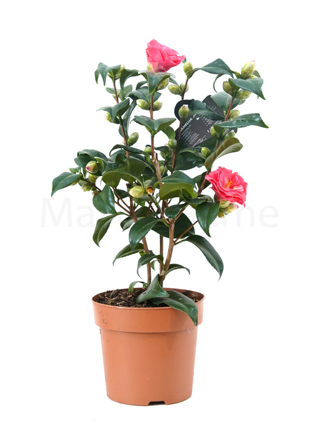 Camellia japonica Flame 15 Indoor Plants