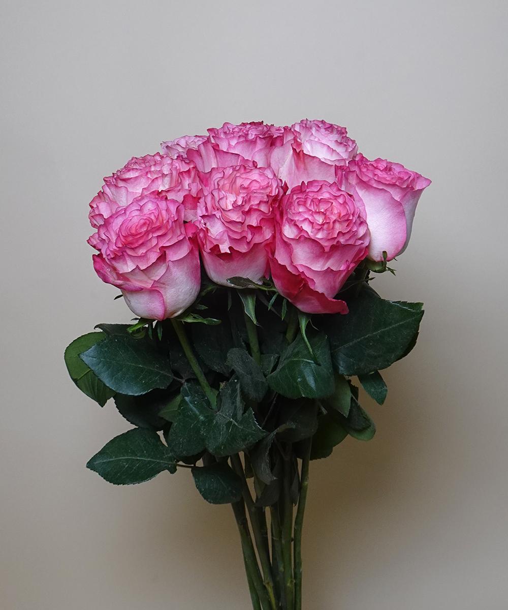 Garden rose - pink double color Wholesale Flowers [Special Deals]
