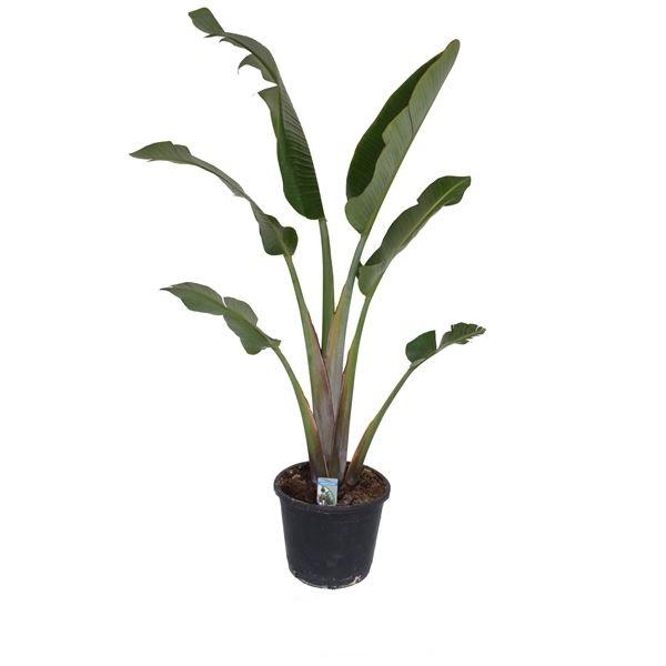 Strelitzia nicolai Indoor Plants