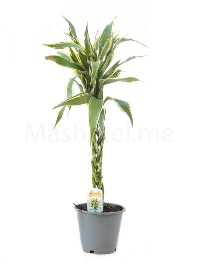 Dracaena sandriana Braided Indoor Plants