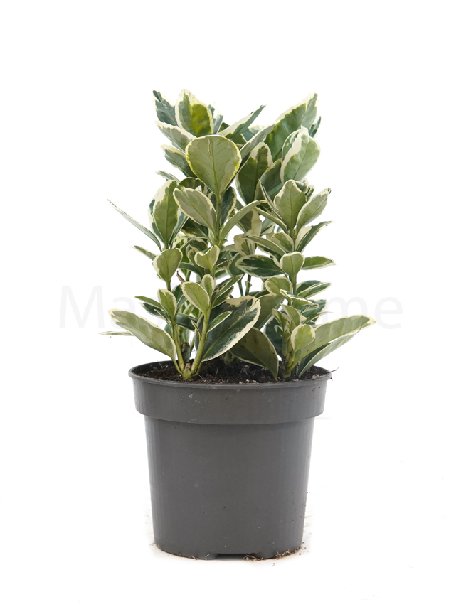Euonymus Jap. Mixed White Indoor Plants