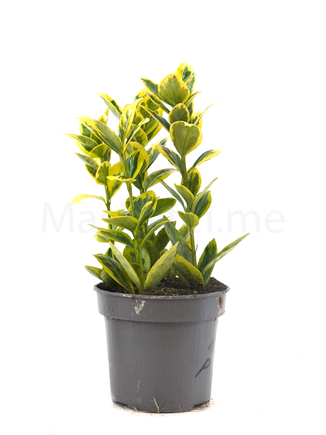 Euonymus Jap. Mixed Lime Indoor Plants