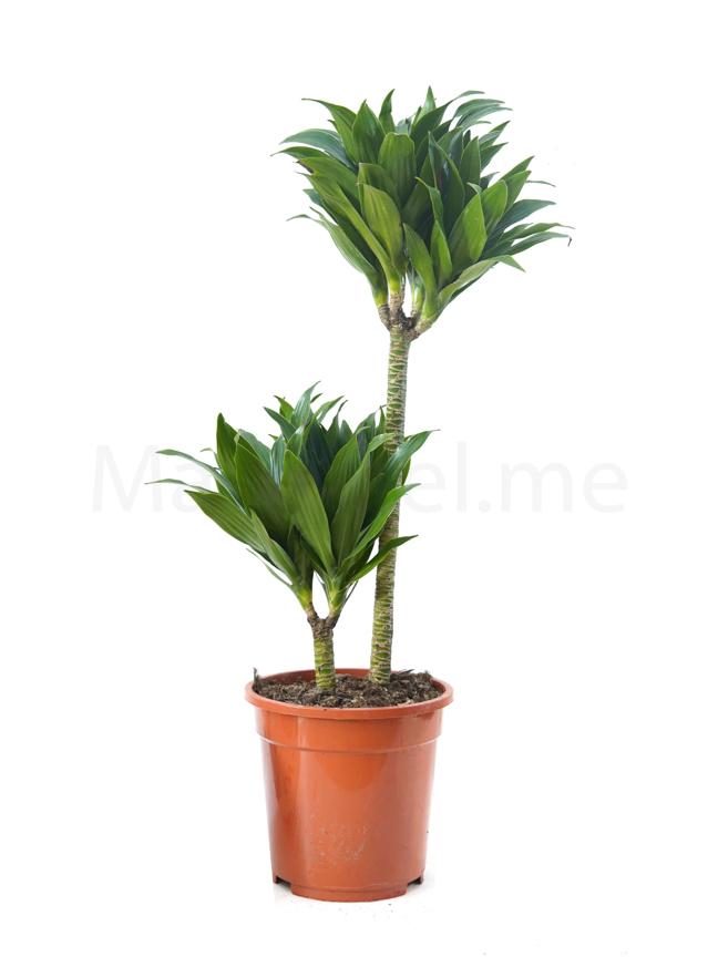 Dracaena Compacta P20 GP Indoor Plants