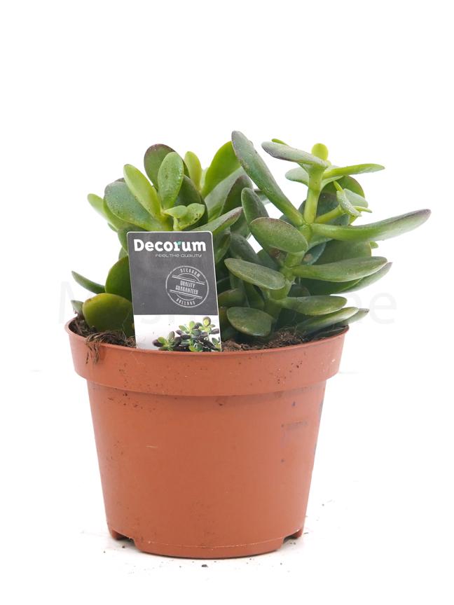 Crassula Ovata Minor Varigated Indoor Plants