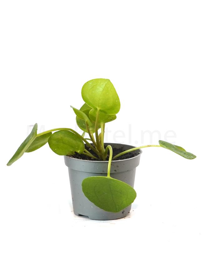 Pilea Peperomioides  Indoor Plants