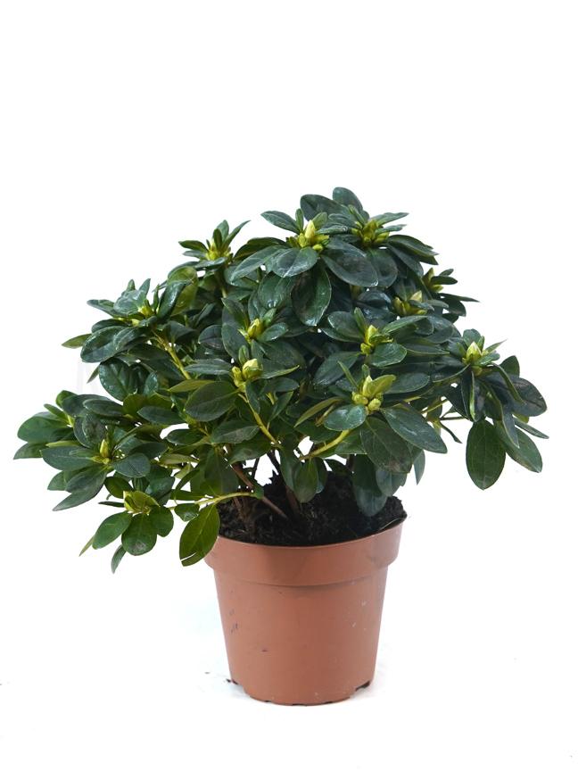 Rhododendron Mixed Azalia Indoor Plants