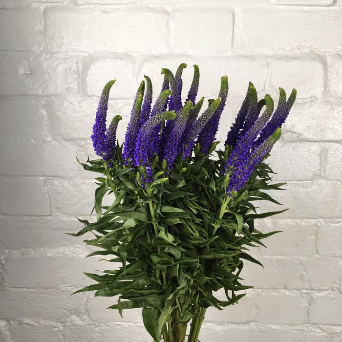 veronica - purple Wholesale Flowers [Special Deals]