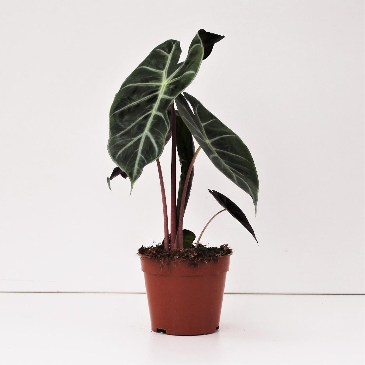 Alocasia Nairobi Nights (Duo) Indoor Plants