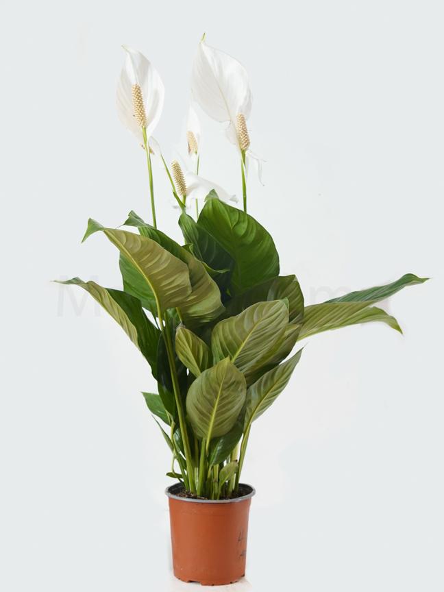 Spathiphyllum Cupido Compacto Indoor Plants