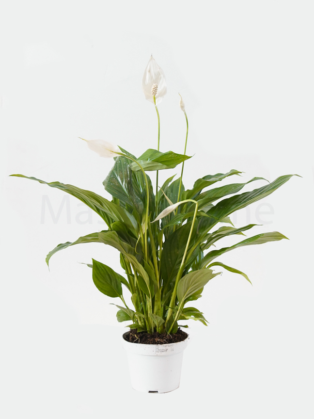 Spathiphyllum Chopin  - Peace Lily Indoor Plants
