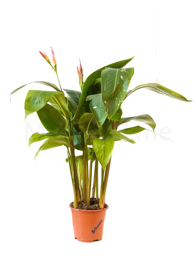 Heliconia Angusta Indoor Plants