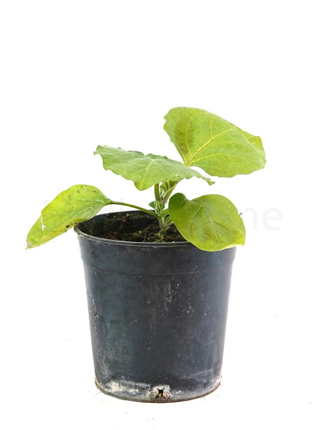 شجيرة الباذنجان نباتات خارجية