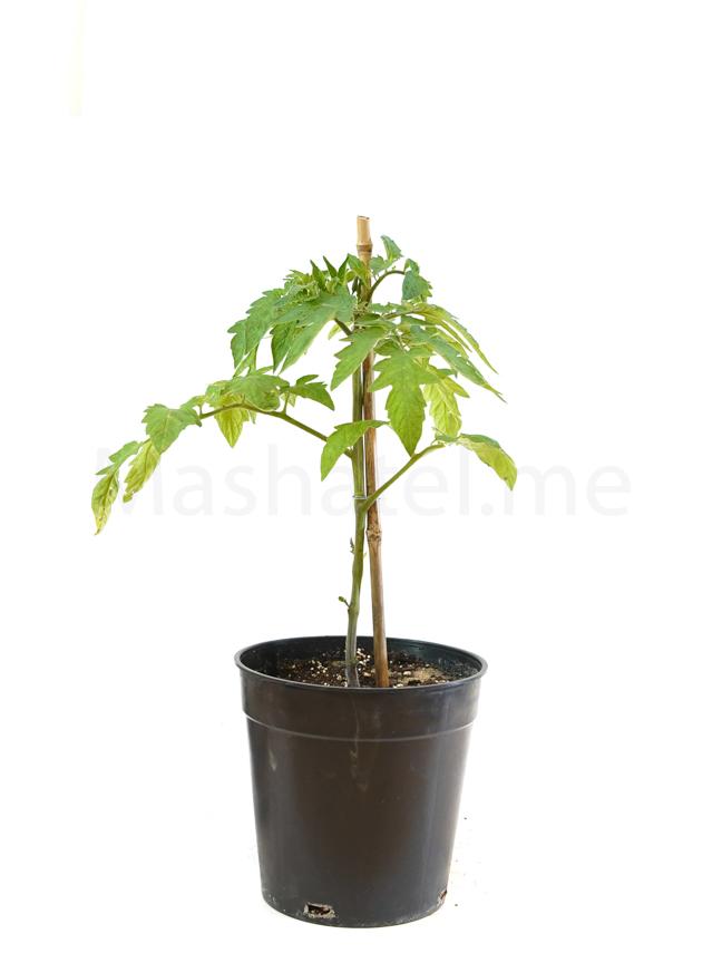 طماطم نباتات خارجية