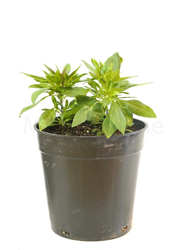 Mashmom - Herbs Outdoor Plants