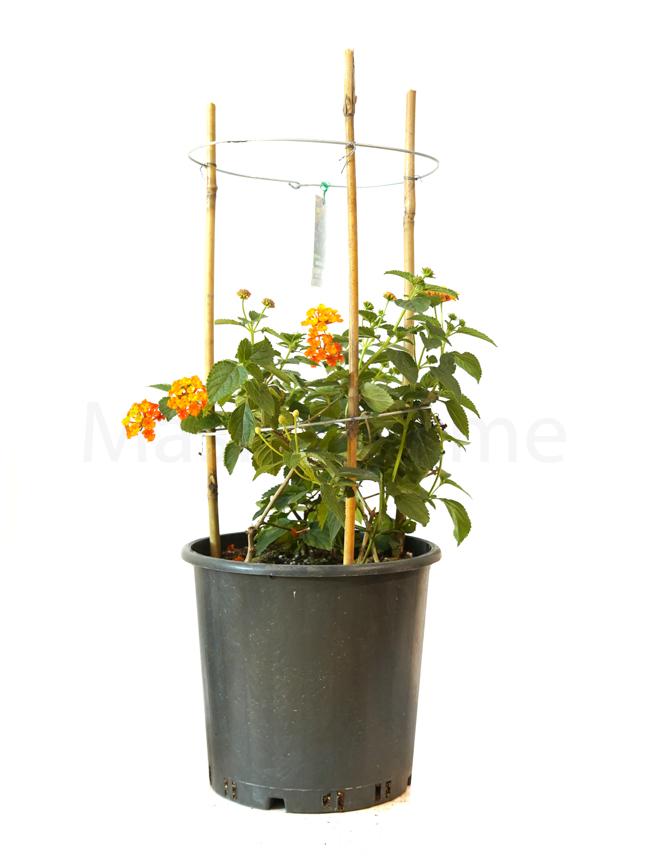 Lantana Mixed Color 'Outdoor Plants'