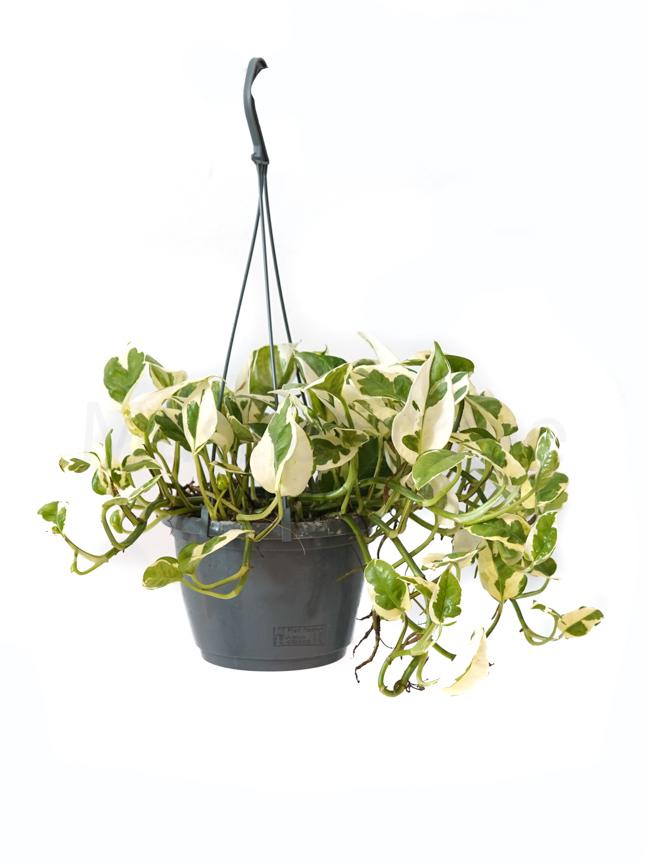 Epipremnum Pinn. (Scindapsus) Hanging Indoor Plants