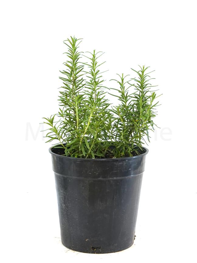 Salvia rosmarinus Outdoor Plants