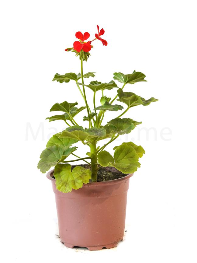 جيرانيوم معلق نباتات داخلية