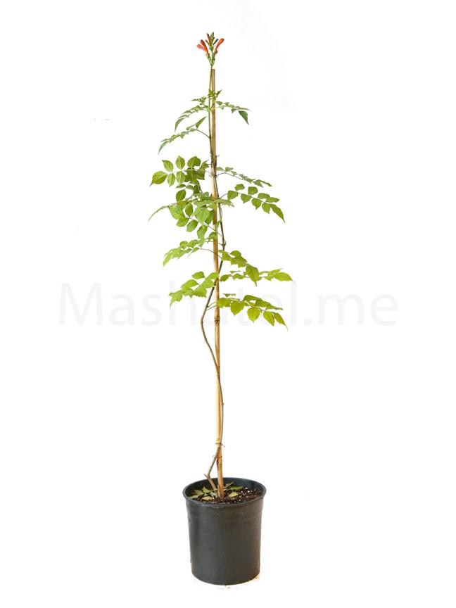 تيكوماريا 'نباتات خارجية'