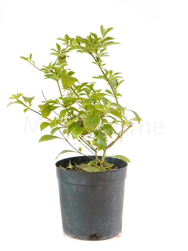 Duranta Repens Outdoor Plants