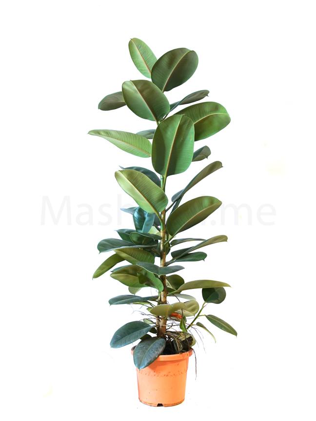 Ficus Robusta Large Indoor Plants