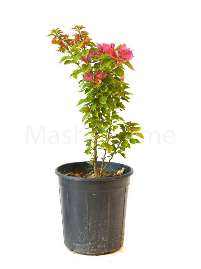 الجهنمية القزمة نباتات خارجية