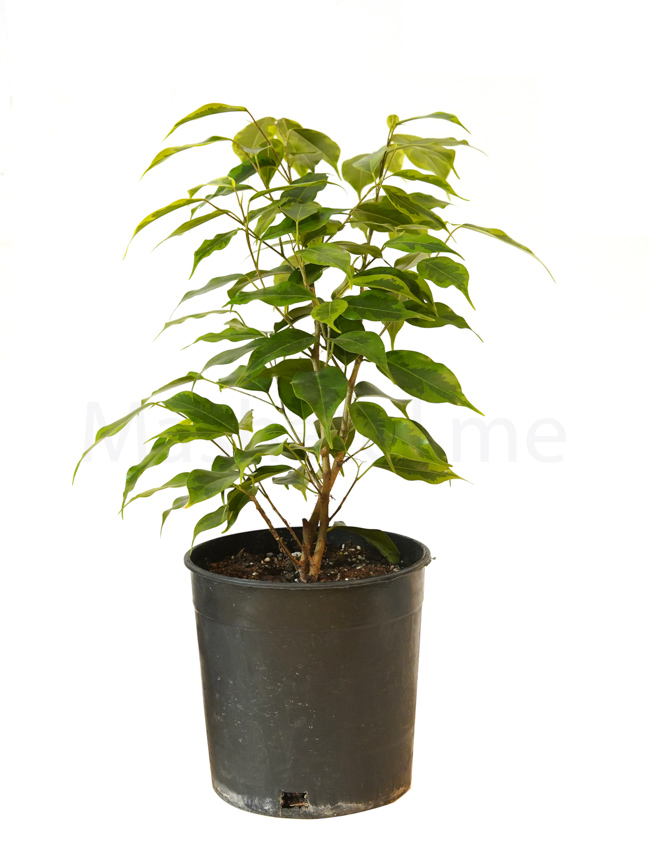 Ficus Benjamina Lime Indoor Plants