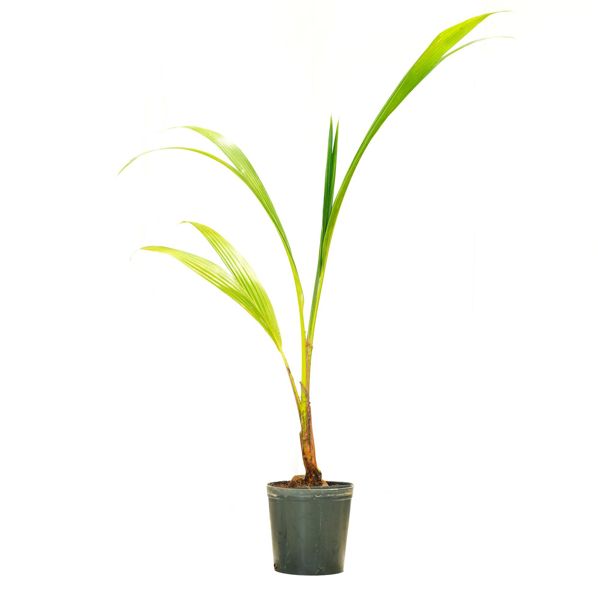 Cocos Nucifera GP Outdoor Plants
