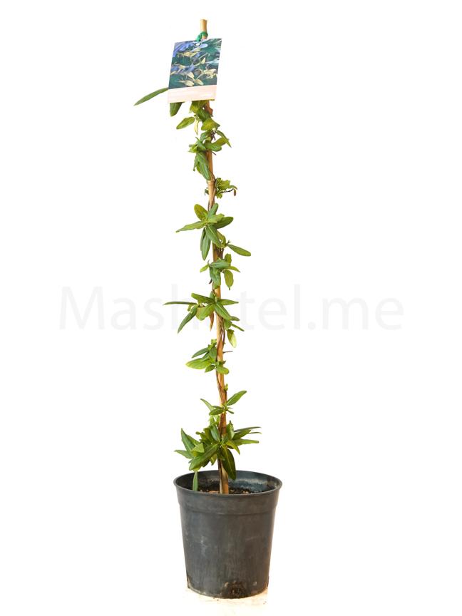 Lonicera Japonica Outdoor Plants