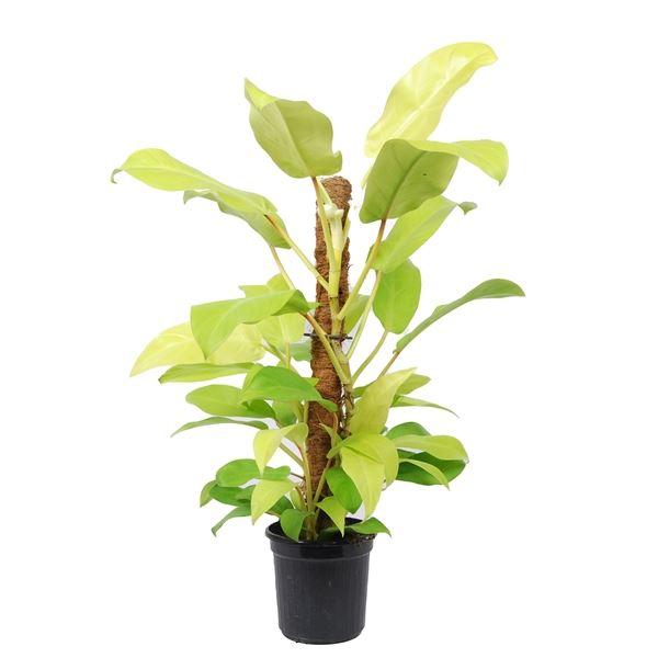 Philodendron Lemon Lime Indoor Plants