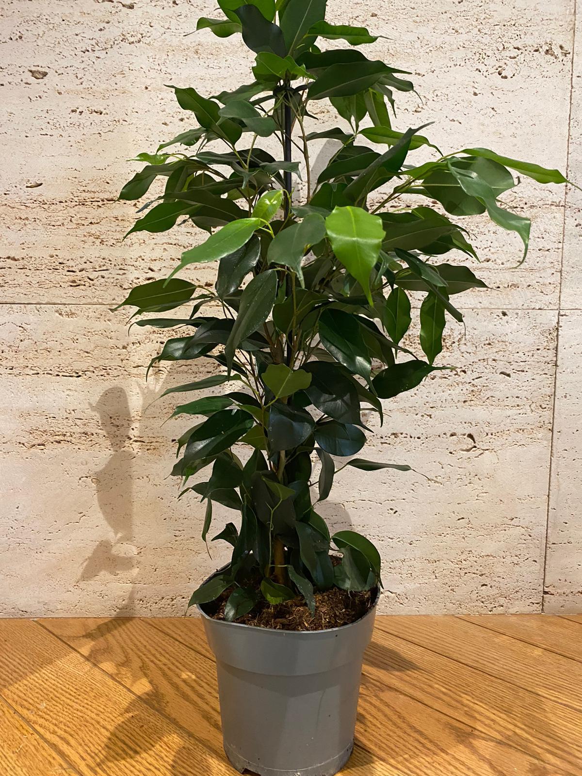 اللبخ بنجامينا نباتات خارجية