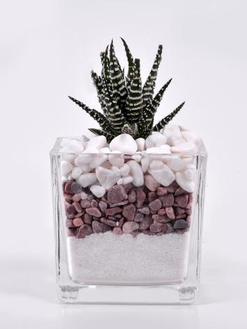 صبار زيبرا نباتات للمكاتب