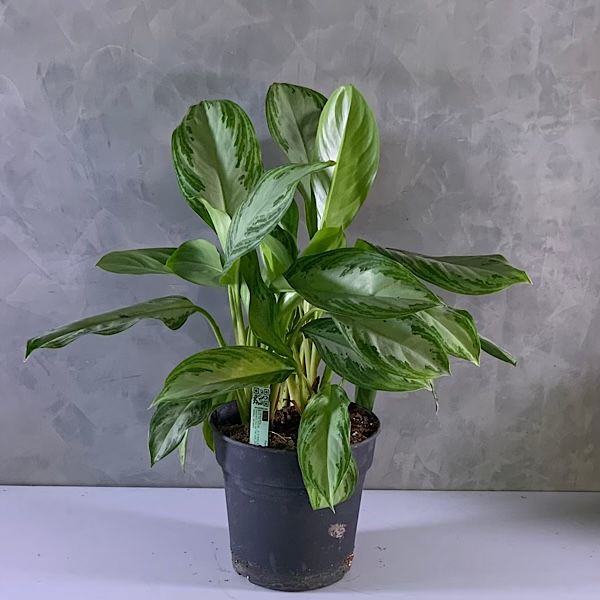 Aglaonema  Indoor Plants