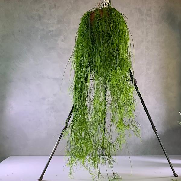 Rhipsalis Indoor Plants