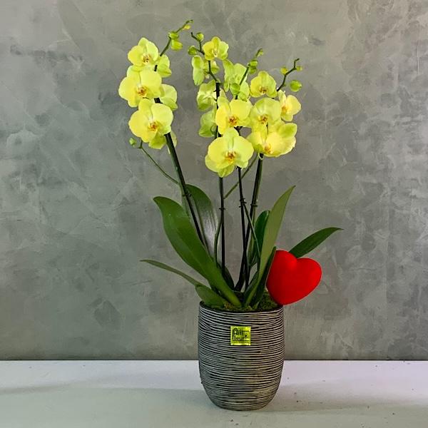 برومو مجموعة الأوركيد الصفراء نباتات داخلية
