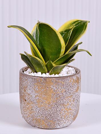 سانسرفيريا - صغير نباتات للمكاتب