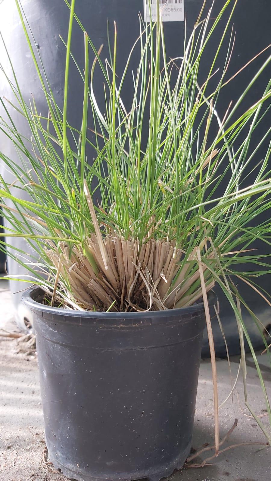 بنيسيتوم نباتات خارجية