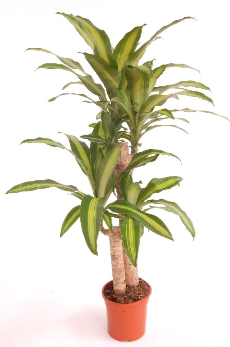 دراكاينا ماسانجينا نباتات داخلية