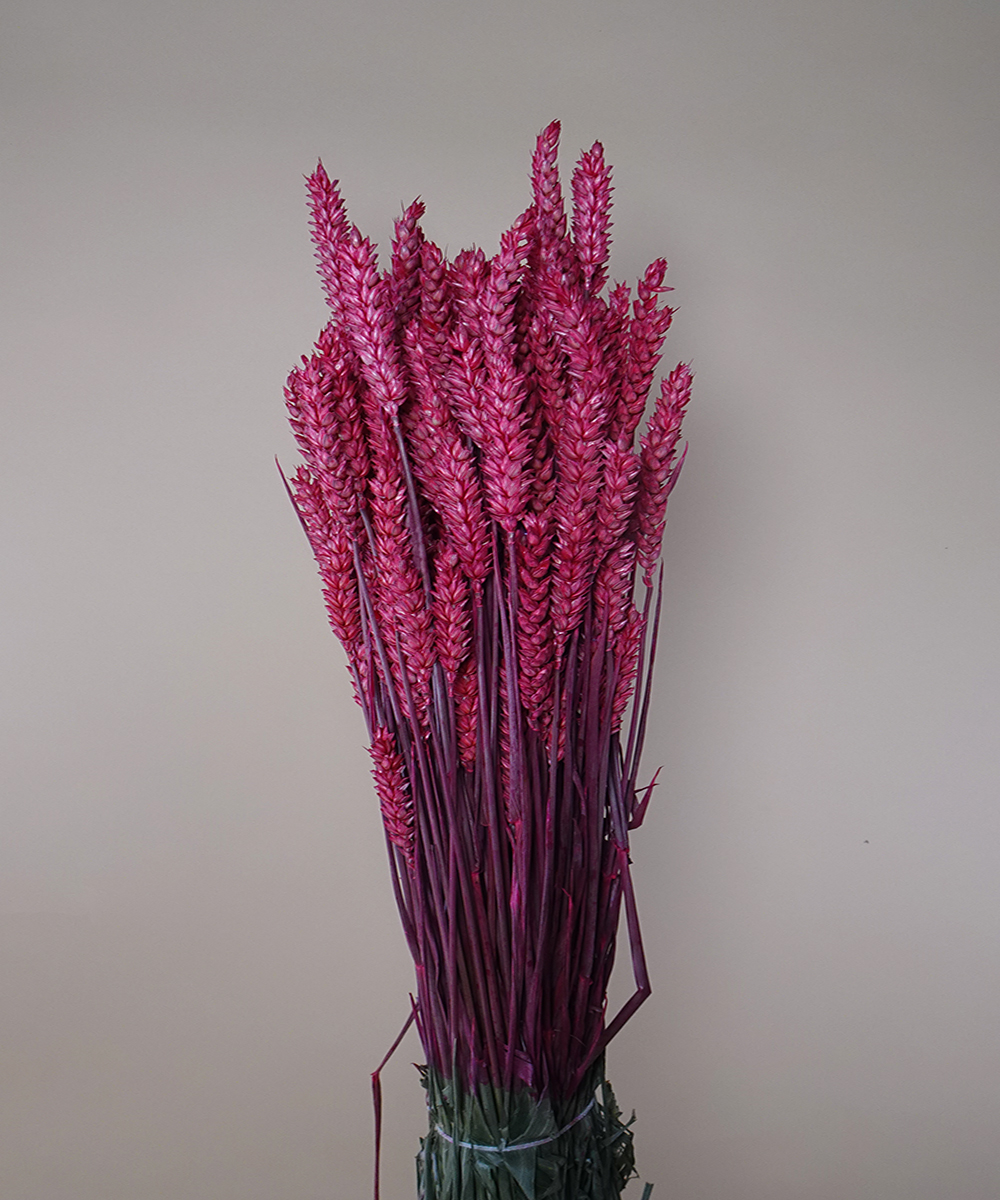 Dried Tritium - Fuchsia Wholesale Flowers