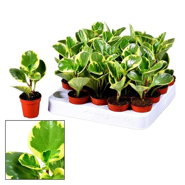 ببروميا صغيرة نباتات داخلية